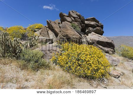 Wildlfowers Blooming In Anza-borrego State Park, California
