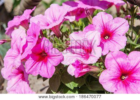Petunia Hybrida In Garden. Landscape Design