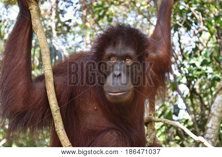 Borneo Orangutan in the jungle, Borneo. Sabah.