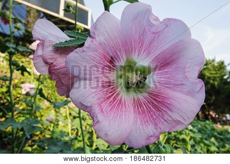 Hollyhock flower blooming in garden outdoor with beautiful