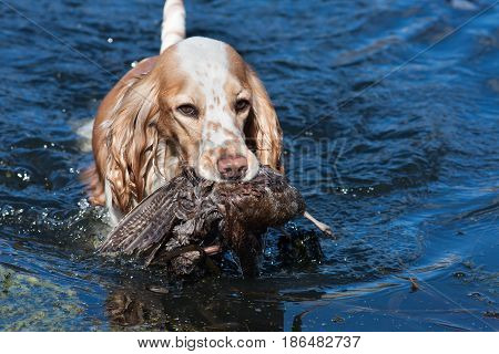 hunting dog holding a prey in the water