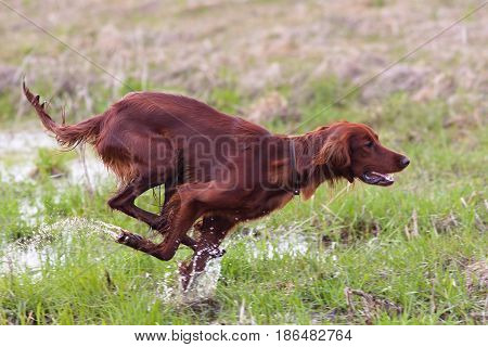 hunting dog setter running on the meadow