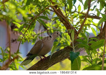 Wild forrest pigeon perched in a garden tree looking at the camera right side profile view