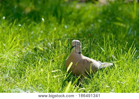 Wild forrest pigeon relaxing in the sun standing on fresh green grass
