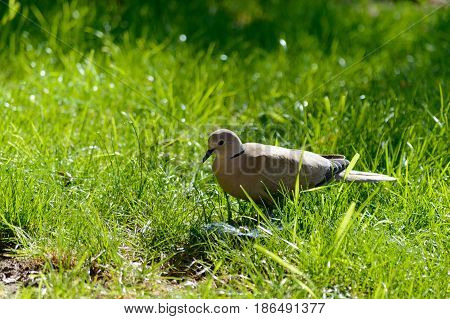 Wild forrest pigeon looking for seeds to eat in the fresh green grass on a sunny day