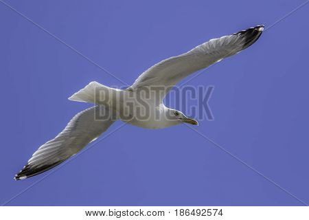 Seagull flying against blue sky. Classic seaside view of seagull gliding and looking back.