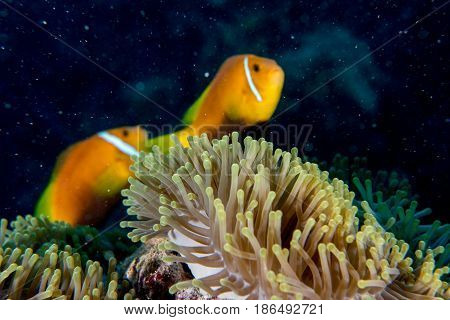 Clown Fish Inside Red Anemone In Maldives Indonesia