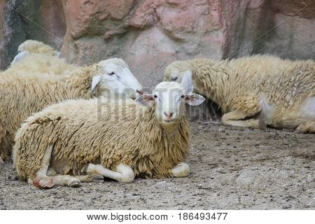 Image of a brown sheep relax on nature background in thailand. Farm animal