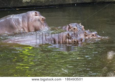Image of a hippopotamus on the water. Wild Animals.