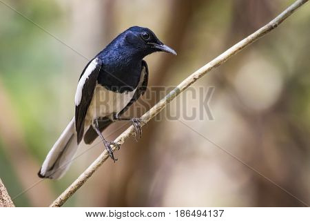 Image of bird on the branch on natural background. Oriental Magpie Robin (Copsychus saularis)