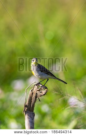 Image of Bird Eastern Yellow Wagtail (Motacilla tschutschensis) Wild Animals.