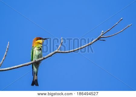 Image of bird on the branch on sky background. Wild Animals. Chestnut-headed Bee-eater (Merops leschenaulti)
