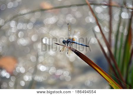 A male blue dasher dragonfly (Pachydiplax longipennis) alights upon  a blade of grass over a small lake in Joliet, Illinois during August.