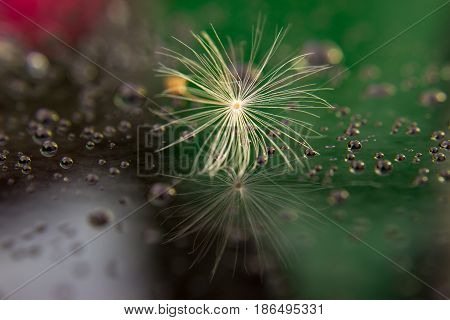 Seed of dandelion after rain with drops on the glass. In the glass is the reflection of the seed. Glass is tinted with red and green.