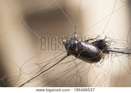 Image of a scarab trapped in the mesh. Insect