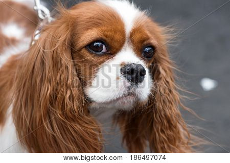 Cavalier King Charles Spaniel portrait close-up outdoor on gray background