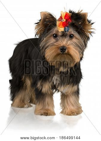 Yorkshire Terrier with a Bow on It's Head