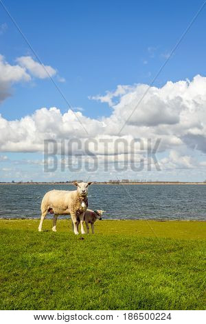 Newborn lamb standing in the shade of its mother sheep on an embankment next to a Dutch estuary.