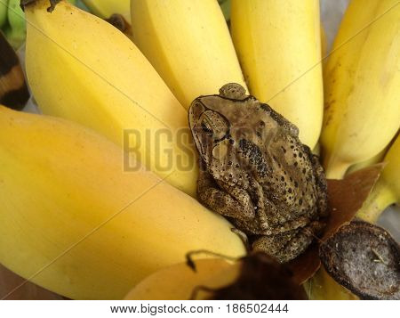 a toad relex on the banana .