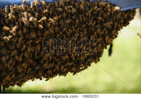 Cluster Of Bees