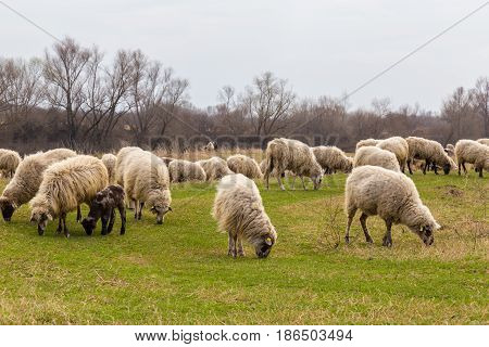 Pastoral scenery with herd of sheep and goats along river bank, in Eastern Europe, in spring