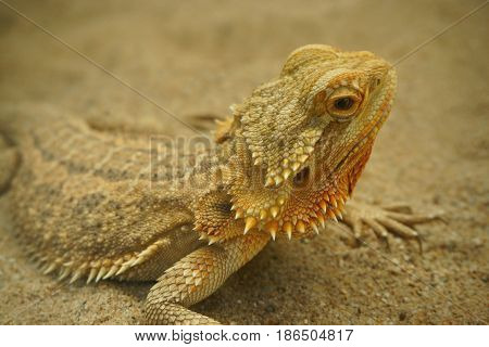 Bearded dragon ( lizard). Lizard on the sand.