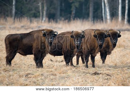 A herd of aurochs grazing on the field.Four large brown bison on the forest background.Four bulls with big horns on the background of the forest.Bestial gang. Belarus, Bialowieza Forest Reserve.Poland