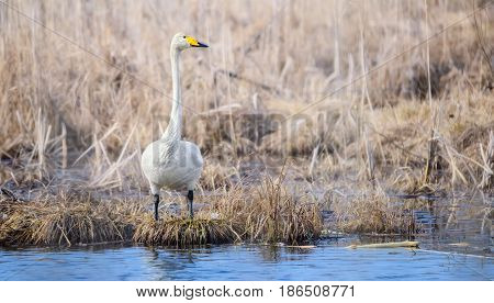 A white mute swan with a yellow beak, standing near the water and looking carefully aside.A white swan standing near the water. Migratory bird in Belarus. Bialowieza Forest Reserve. Poland
