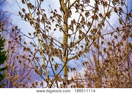 Spring landscape, flower earrings aspen tree against the blue sky