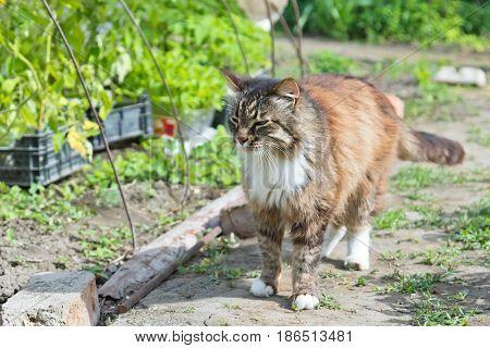Beautiful House Cat Walks Through The Infield