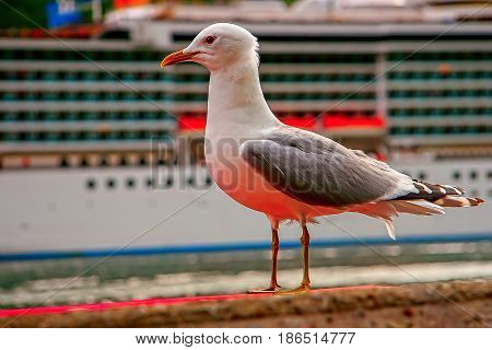 Seagull on the edge of the quay and the ship background