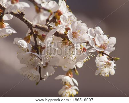 Branch of the beautifully flowering fruit tree