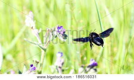 Black Bee Fly To Flower
