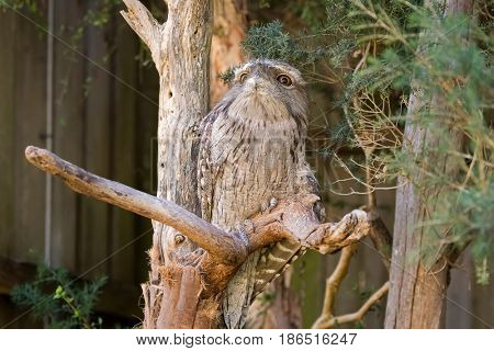 Tawny frogmouth with tufts perching on tree branch, native stocky bird in Australia, Tasmania (Podargus strigoides)
