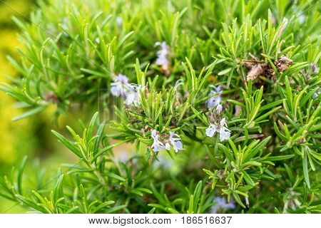 Close-up of flowers of blossoming rosemary plant or Rosmarinus officinalis