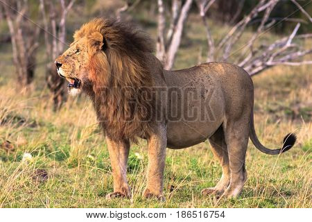 The very biggest cat in Africa. Kenya, Masai Mara