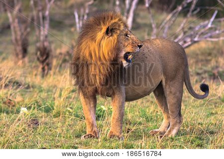 The biggest cat in Africa. Kenya, Masai Mara