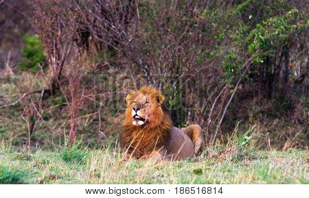 African lion. Masai Mara, Kenya	 The huge lion - the owner of the savannah.