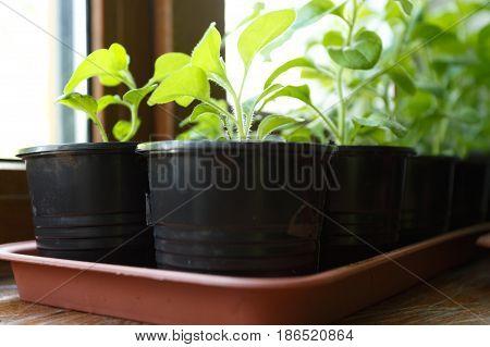 Pitunia seedlings in plastic flower pots on the window