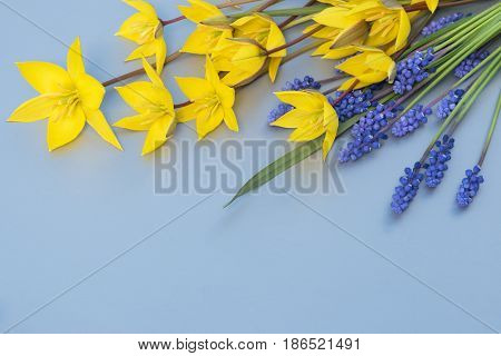 A bouquet of yellow wild tulips and blue muscari on the grey backgraund.