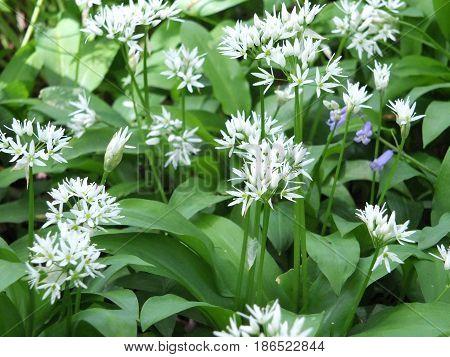 wild garlic flowers in british woodland in spring