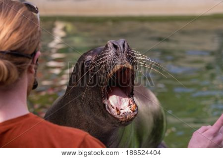 South American Sea Lion opens his mouth to instruct the trainer in ZOO. Deail on the head of the seals.