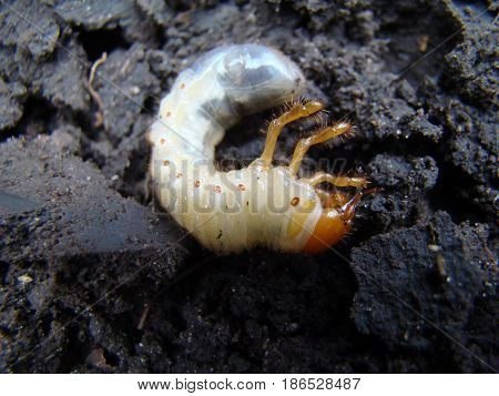 larva of the may beetle indestructible pest roots