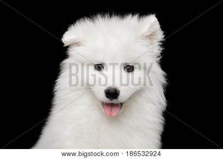 Portrait of Funny White Samoyed Puppy isolated on Black background, front view