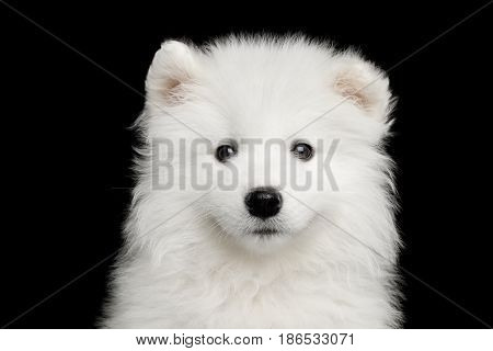 Portrait of Furry White Samoyed Puppy isolated on Black background, front view