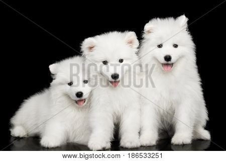 Three White Samoyed Puppies friendly Sitting together isolated on Black background, front view