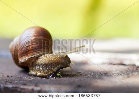 Burgundy snail (Helix pomatia Roman snail edible snail escargot) crawling on wooden surface. Copy space