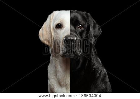 Portrait of Two-faced Labrador retriever Dog with gold and black Fur on isolated background, front view