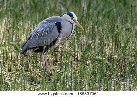 Grey heron (Ardea cinerea) hunting amongst vegetation. Large water bird in the family Ardeidae looking for fish in lake