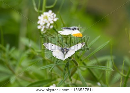 Orange-tip butterflies (Anthocharis cardamines) mating. Pair of insects in the family Pieridae with female presenting genitalia for copulation with male in flight